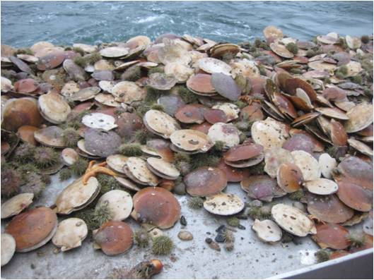 Scallop shell pile